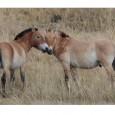 Impressionnés par la classe des derniers chevaux sauvages en liberté et amusés par notre promenade en chameaux ...avec gants & bonnet ! / Beeindruckend sind die letzten wirklichen Wildpferde in freier Natur, amüsierend der kleine Ausflug hoch zu Kamel... mit Mütze und Handschuhen!